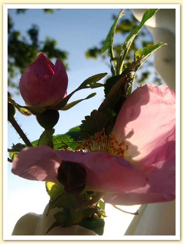 The First Wild Rose Asked To Be Given To Mary